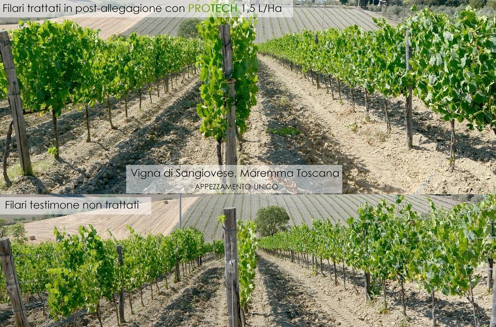 Applicazione di ProTech in Maremma Toscana, importante risposta delle piante agli stress idrici dopo l'uso di ProTech, vegetazione molto più vigorosa e sintomi da stress non presenti rispetto ai filari testimone a fianco.
