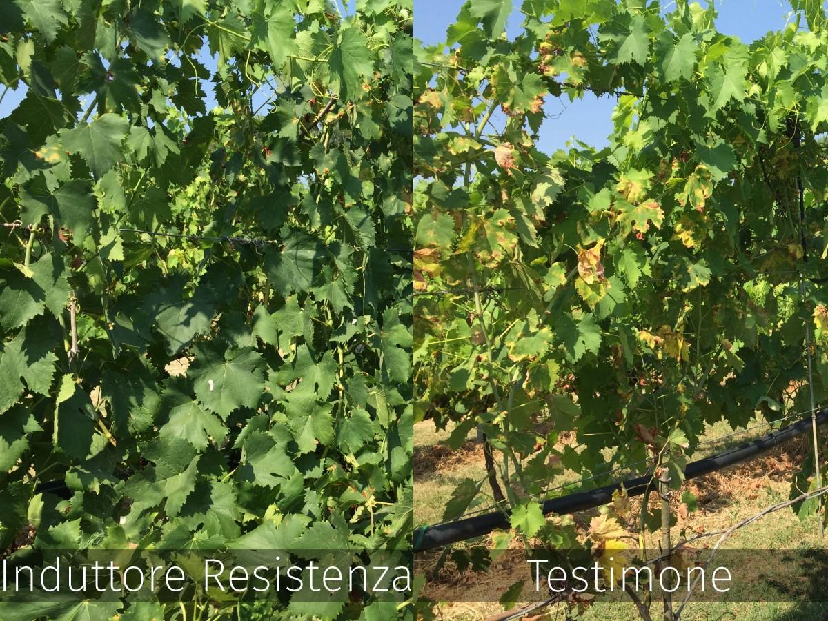 A sinistra efficace risposta della pianta dopo l'applicazione di Activo Rame. Il testimone non trattato, a destra, ha subito una forte pressione del patogeno.