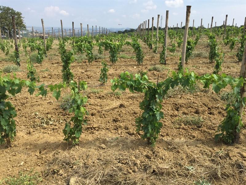 Montalcino, piante trattate con MycoActive Plus a 3 mesi dall'impianto.